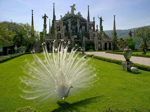Most Beautiful White Peacock Pictures White Peacock Picture For