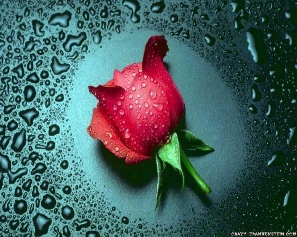 Red-Rose-Wallpaper For Mobile-2013 2014